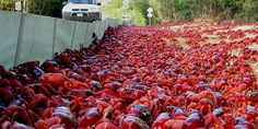 The Astonishing Annual Red Crab Migration. Each year millions of bright red land crabs leave their burrow homes on Australia 's Christmas Island and start a long, laborious trek toward the sea. They descend cliffs, climb banks and maneuver around obstacles to reach the shoreline and lay their eggs, eventually returning to the island's central plateau with their offspring in tow. The synchronized migration resembles a crimson-colored river undulating across the island and can last up to 18 days.