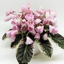African violet LE 'Leila / Lejla / Leyla / ЛЕ-Лейла' Semi-double pink bell flowers with variable green edge. Longifolia foliage with gorgeous white and pink variegaton. Saintpaulia, Glass Birds, Tropical Garden, Live Plants, Growing Plants, Pansies, Houseplants, Indoor Plants, Gardens