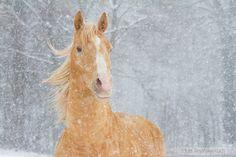 AQH stallion in winter
