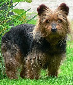 Australian Terrier - Small Dog Breeds Information All Small Dog Breeds, Best Dog Breeds, Small Dogs, Silky Terrier, Terrier Breeds, Terrier Dogs, Terriers, Pet Psychic, Hypoallergenic Dog Breed