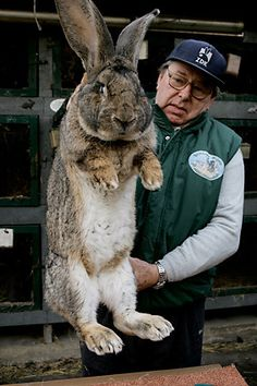 Karl Szmolinsky, who raises a breed of rabbits called giant grays, shows Robert, an 8.5kg giant gray who is 74cm long and has ears 25.5cm long, in the backyard of his house in Eberswalde, Germany in 2006. Szmolinsky sold eight giant grays to a delegation from North Korea that wanted to raise the breed as a source of meat for the North Korean population. Szmolinsky said his rabbits reach a maximum weight of 10.5 kg (23.1lbs.).