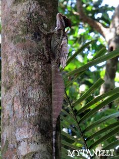 Jesus Christ lizard - it runs on water! Seen at Manuel Antonio National Park