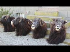 Musk ox hunting tours Greenland? Trophy guarantee → Major Hunting