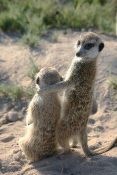 Meerkats #cute #animals #meerkats