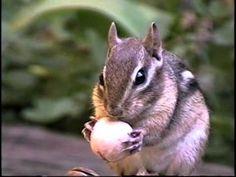Mammifères du Canada / Mammals of Canada Red Fox, Chipmunks, Mink, Filmmaking, Mammals, Squirrel, North America, Deer, Wildlife