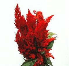 red celosia (goes great w/calla lilies)