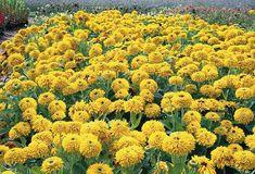 Rudbeckia Hirta Seeds - MAYA DOUBLE - Gloriosa Daisy - Perennial - 50 Seeds #theseedhouse