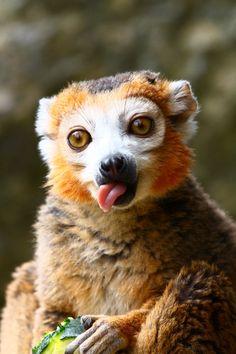 Crowned Lemur  (by Jenny Grewal)