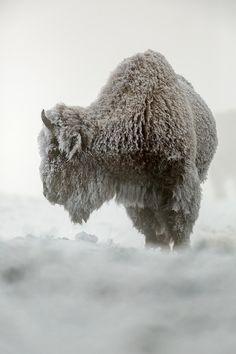American Bison (Wyoming) | Raymond Leinster