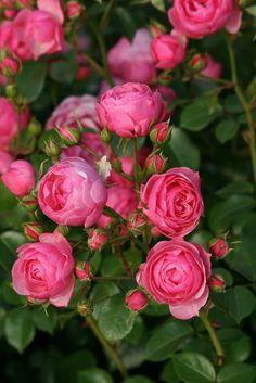 Csodálatos Angol rózsák