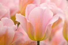 """Tulipa """"Peace Flame"""""""