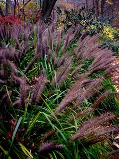Pennisetum Moudry Shaded Garden Gr Beds Flowers