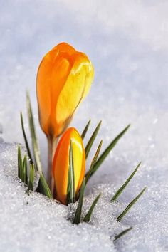 Crocus In Snow.  Late Winter? or Early Spring? Confused Crocus's   =o)