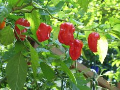 Red Savina chili variety (Capsicum Chinese). Should be quite hot. Going to use it in strawberry jam ingredient.