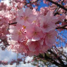 伊豆の川津桜