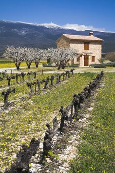 Dormant vineyard with snow capped Mont Ventoux in the background, Vaucluse, Provence, France.  Photo: Danita Delimont