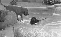 Voodoo Chile is in the pool.  His mother (Abbey) is chastising him for getting in AGAIN.  Those neighbors who had the wedding and my Voo jumped the fence, remember?  Uncoupling fiction from autobiography?  Or, did he have a ladder fixation?