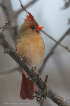 The Northern Cardinal - Cardinalis cardinalis, is a North American songbird. Its natural habitat is woodlands, gardens, shrublands, and swamps. Juvenile bird pictured. Photo by Greg Schneider.