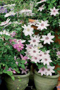 Kärhö on kotonaan ruukussa Container Flowers, Flower Pots, Potted Flowers, Clematis, Dream Garden, Garden Plants, Green, Beautiful, Flower Vases