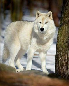 Lovely white wolf                                                       …