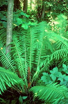 Struccpáfrány (Matteuccia struthiopteris, Athyriaceae) (Seregélyes Tibor felvétele) Plant Leaves, The Outsiders, Plants, Plant, Planets