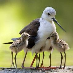 The Black-winged Stilt (Himantopus himantopus). Cavaliere d'Italia. - White and Brown Bird with Baby Chicks