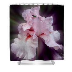 Stunning pink bearded iris flower shower curtain.  Photography by Susan.