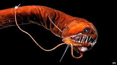 A scaleless black dragonfish, a bioluminescent deep sea fish showing its light emitting organs, large jaws, and needle-like teeth. Beautiful Sea Creatures, Deep Sea Creatures, Weird Creatures, Underwater Creatures, Underwater Life, Deep Sea Animals, Fauna Marina, Dragon Fish, Especie Animal
