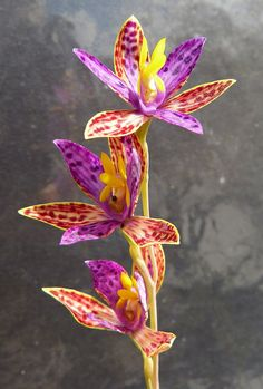 Northern Queen-of-Sheba Orchid - Thelymitra pulcherrima - Flickr - Photo Sharing!