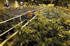 This California desert town is experiencing a marijuana boom - LA Times