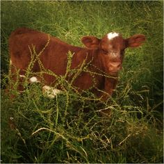 My friends baby cow:) Baby Cows, Livestock, Cattle, Country Living, Farm Animals, Babies, Friends, Gado Gado, Country Life