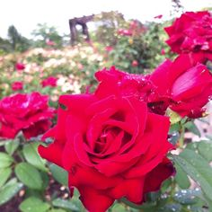 What a great way to start the day: the sweet smell of roses coming from the Rose Garden!