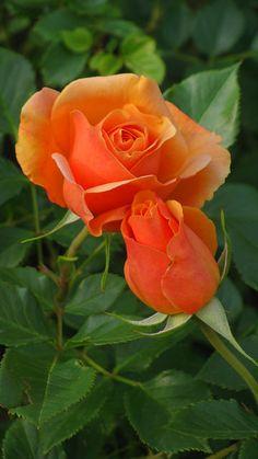 Beautiful Rose Flowers, Pretty Roses, Love Rose, Exotic Flowers, Amazing Flowers, My Flower, Pretty Flowers, Colorful Flowers, Beautiful Gardens
