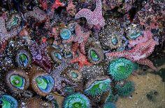 English: The side of a tide pool showing sea stars (Dermasterias), sea anemones (Anthopleura) and sea sponges in Santa Cruz, California. Southern California Beaches, California Dreamin', Northern California, California Vacation, Central California, Central Coast, Beach Activities, Coral, Tide Pools