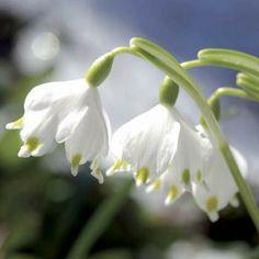 Perce-Neige Double -Galanthus Nivalis flore pleno. Une belle variété à fleurs…