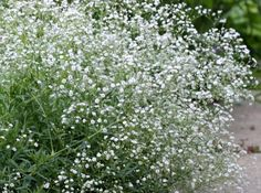 baby's breath - to add to the bridesmaids flowers