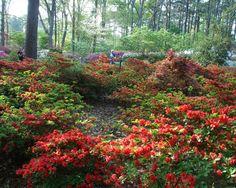 The Ruby Mize Azalea Gardens in Nacogdoches, Texas.