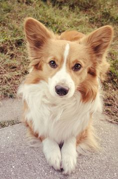 Everything About Fun Pembroke Welsh Corgi And Kids Welsh Corgi Puppies, Corgi Mix, Puppies And Kitties, Pembroke Welsh Corgi, Doggies, Bulldog Puppies, Cute Funny Animals, Cute Dogs, Corgi Facts