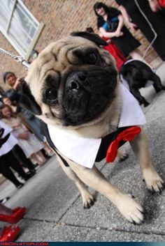 wedding pug.... @Rachel R Feichtmann, it's Milton !