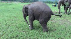 Baby elephant shows off impressive soccer skills   Watch the video - Yahoo Yahoo Eurosport UK