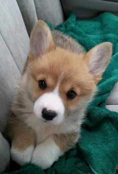 Welsh Corgi puppy, Jasper Islington