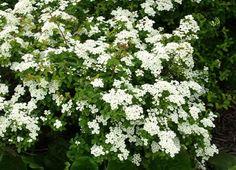 Spiraea nipponica Halwards Silver Nipponi gyöngyvessző Full Sun Plants, Shrubs, Backyard, Silver, Flowers, Patio, Shrub, Backyards, Money