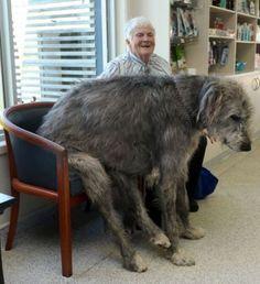 アイリッシュ・ウルフハウンド(Irish Wolfhounds)、一般的に犬で一番大きいというとセント・バーナードと思われているけど、ほんとは彼ら。