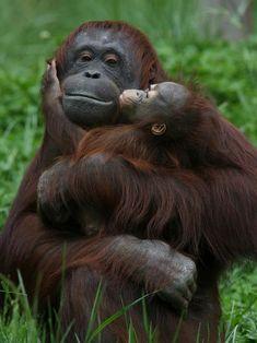 ideas baby animals and their mothers mammals Ideen Tierbabys und ihre Mütter Säugetiere Primates, Mammals, Cute Baby Animals, Animals And Pets, Funny Animals, Wild Animals, Monkeys Animals, Animal Babies, Happy Animals