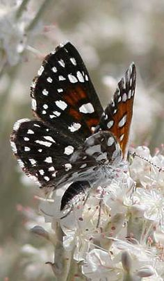 The earthtones of Autumn...on Splendid Wings...♥Ƹ̵̡Ӝ̵Ʒ♥