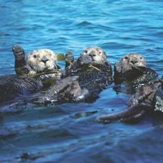 Nordpazifische Seeotter klammern sich an luftgefüllten Seetang. Die kleinsten Meeressäuger haben das dichteste Fell: 150.000 Haare auf einem Quadratzentimeter. Das verhilft den Tauchern zu gutem Auftrieb und ausreichend Wärme auch in kalter Meerestiefe Art.-Nr.: 212-002 Nordpazifische Seeotter | Foto: © Frans Lanting | Text: Rolf Bökemeier