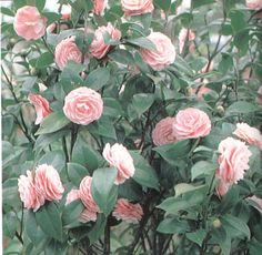 Like all camellias, tolerates LIGHT shade, which might be a problem Camellia Japonica, Shade Shrubs, Dwarf Plants, Web Images, Light Shades, Bonsai, Floral Wreath, Garden, Patio