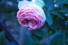 rosa del giardino