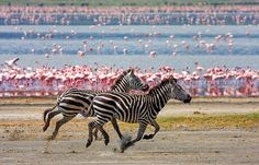 A magical moment in the Ngorongoro Crater when something seemed to be happening in every direction, it was such a buzz. In this direction we see a pair of zebra galloping side by side in front of a lake filled with pink flamingos