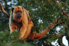 Bugio (Alouatta fusca): vive na Amazônia, Mata Atlântica e Pantanal